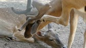 bilinen : A male spotted deer kisses a female deer in summer in slo-mo