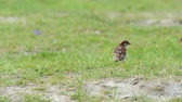 ИСТИНА : A sparrow jumps quickly on a green lawn in slo-mo