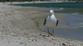 maravilha : A seagull strolls on the Black Sea coast on a sunny day in slo-mo Stock Footage