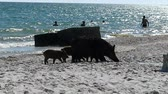 hog : A farrow of piglets and a wild boar on a seacoast with people