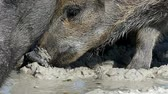 brute : A wild boar with piglets drink water on sandy coast in slo-mo
