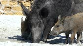 kismalac : Big wild boar and piglets drink fresh water on a sea coast in slo-mo