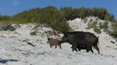 kismalac : A female wild boar walks with piglets on the sandy seacoast in slo-mo Stock mozgókép
