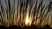 esplêndido : Spikelets of wild grass waving in the field at sunset in slo-mo