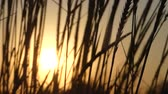 esplêndido : Spikelets of wild weed waving in the field at sunset in slo-mo Stock Footage