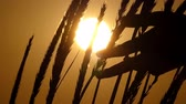 esplêndido : Spikelets of wheat swaying in the field at sunset