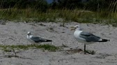 seeking : Two seagulls stand on a sandy coast of Dzharylhach island in slo-mo Stock Footage