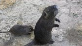 bigode : Mother nutria ant its kid on a river bank in summer in slo-mo