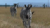 steppe : A beautiful zebra goes to a cameraman waving its mane in slo-mo