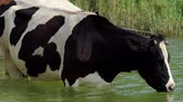 cana : Black cow sticks its tongue out to drink water in a lake in slo-mo