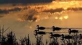 nádherný : A flock of ducks swimming in a forest lake at sunset in slo-mo