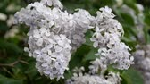 syringa : A little white lilac bud close up Stock Footage