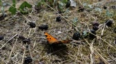 kraliçe : An orange butterfly sits on the ground near the mulberry in slow motion. Stok Video