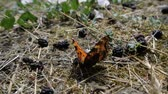 бабочки : An orange butterfly sits on the ground near the mulberry in slow motion. Стоковые видеозаписи