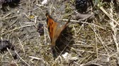 dut : Close up shot of the orange butterfly that sits on the ground near mulberry.