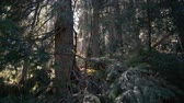 Wild spruce forest in the Carpathian Mountains in autumn in slo-mo