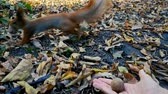 Red squirrel take nut from the hand of woman - pov view .