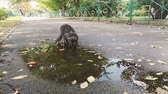 vagabundo : Grey cat drinks from the puddle on the street - 4k shot.