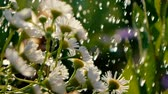 camomila : White camomiles are poured with sparkling water on a sunny day in slo-mo
