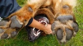 лохматый : German Shepherd dog lying on its back and playing with a man on lawn in slo-mo Стоковые видеозаписи