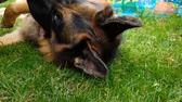 rozjařený : Lying German Shepherd dog is patted with a male hand on a green lawn in slo-mo Dostupné videozáznamy