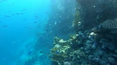 подводный : Coral reef with a lot of fish in slow motion. Стоковые видеозаписи