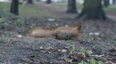 januari : Alone red squirrel run on the ground in slow motion. Stockvideo