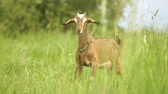 niania : Cheery nanny goat with a strap looking around in a green field in slo-mo Wideo