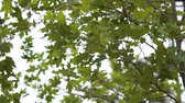 luxuriante : Maple leaves on a tree close up in slow motion Vídeos