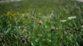 trevo : Cheery clover flowers fluttering on a field among grass in summer in slo-mo