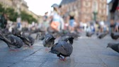 クラクフ : Many doves and a boy with knight toys running among them in Krakow in slo-mo 動画素材