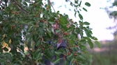 murier : Young woman takes Mulberry from the tree in slow motion.