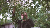 murier : Man takes Mulberry from the tree in slow motion