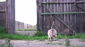 farmhouse : A gray cat goes to the gate in a farmhouse with a wicket open.