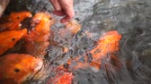 aquatic bird : Woman feeds bread to fish in a pond in a park in slow motion