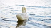 increible : White swan swimming alone on blue lake. Full HD footage