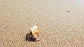krab : Little hermit crab with beautiful shell crawling on sand beach to sea. 4K closeup video