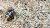 krab : Closeup view of small hermit crab with shell crawling on sand beach. 4K clip Dostupné videozáznamy