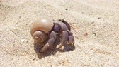 krab : 4K closeup footage of big hermit crab with shell crawling on sand beach in Thailand Dostupné videozáznamy