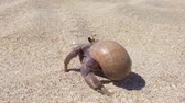 paguro : 4K closeup footage of big hermit crab with shell crawling on sand beach in Thailand Filmati Stock