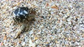 paguro : Closeup view of small hermit crab with shell crawling on sand beach. 4K clip Filmati Stock