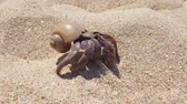 4K closeup footage of big hermit crab with shell crawling on sand beach in Thailand Videos