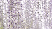 wisteria : Full blooming purple wisteria flowers in left side Stock Footage