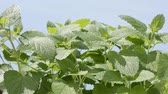 melisa : Bright green lemon balm plants under blue sky Stok Video