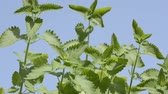 inclinado : Catnip plants sway in the wind under blue sky