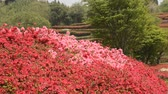miyazaki : Full blossoming red and pink azalea field in front of hillside