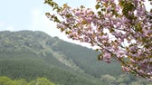 miyazaki : Pink double cherry blossoms in front of mountain