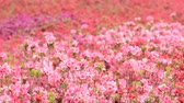 miyazaki : Field filled with pink and red azalea flowers