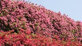 miyazaki : Full blossoming pink and red azalea flowers under blue sky Stock Footage