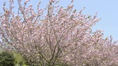 miyazaki : Full blooming pink double cherry blossoms under blue sky